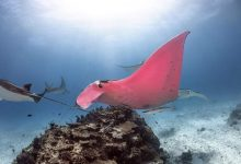 Photo of Fotógrafo capta a una mantarraya rosa en Australia
