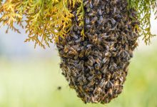 Photo of Enjambre de abejas mata a sargento de la GNB